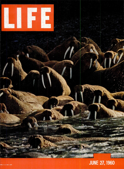 Alaskan Walrus Crowd 27 Jun 1960 Copyright Life Magazine | Life Magazine Color Photo Covers 1937-1970