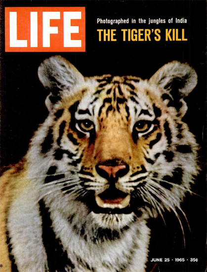 Bengal Tiger in India Jungle 25 Jun 1965 Copyright Life Magazine | Life Magazine Color Photo Covers 1937-1970