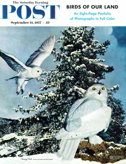D Bleitz The Saturday Evening Post Cover Snowy Owls 1957_09_14 | The Saturday Evening Post Graphic Art Covers 1931-1969