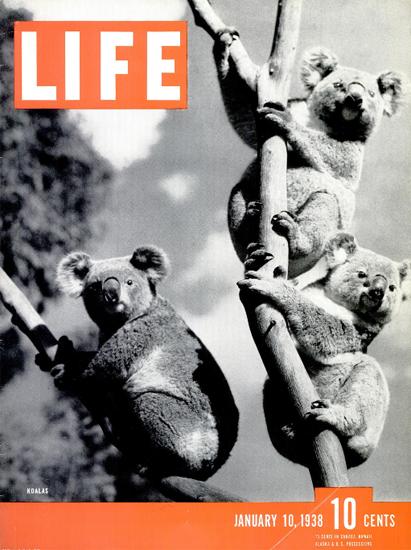 Koalas 10 Jan 1938 Copyright Life Magazine | Life Magazine BW Photo Covers 1936-1970