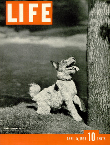 Terrier Barking up Tree 5 Apr 1937 Copyright Life Magazine | Life Magazine BW Photo Covers 1936-1970