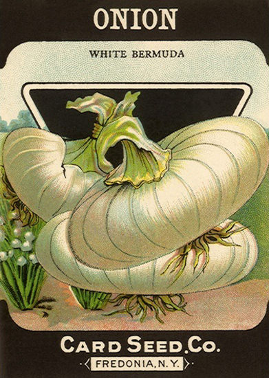 White Bermuda Onion Card Seed Co Fredonia | Vintage Ad and Cover Art 1891-1970