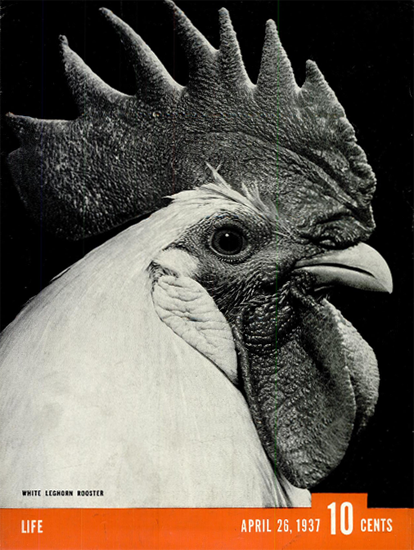 White Leghorn Rooster 26 Apr 1937 Copyright Life Magazine | Life Magazine BW Photo Covers 1936-1970